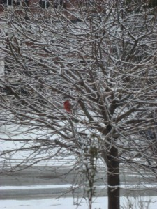 cardinal-in-a-tree
